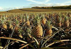 Pineapple fields on Maui