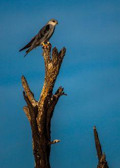 Black-winged Kite Camdeboo National Park by PhilippeduPreez.deviantart.com on @deviantART