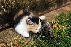 Et ce chat avec son meilleur ami hérisson. | 21 animaux adorables avec leurs meilleurs amis