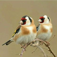 goldfinch (photo by MuratAcuner)