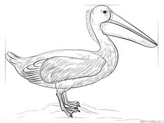 How to draw a Pelican | Step by step Drawing tutorials