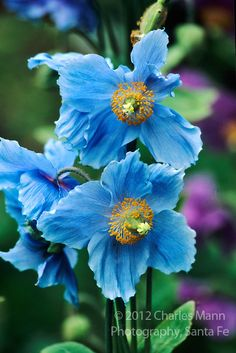 blue flowers names and pictures | Originating from China, the striking blue flowers of the Blue ...