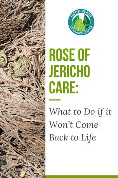 Rose of Jericho Care: What to Do if it Won't Come Back to Life - Houseplant Resource Center Rectangle Garden Design, Small Garden Design, Big Garden, Dream Garden, Garden Kids, Jericho Rose, Soul Healing, Mediterranean Garden, Garden Quotes