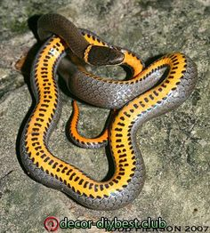 Diadophis punctatus: Ringneck Snake Adult from southern Illinois. Pretty Snakes, Cool Snakes, Beautiful Snakes, Cute Reptiles, Reptiles And Amphibians, Mammals, Anaconda Verde, Beautiful Creatures, Animals Beautiful