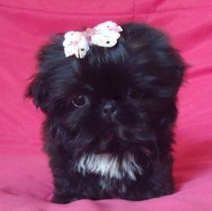 Teeny black Shih Tzu puppy! Love Your Dog? Visit our website NOW!