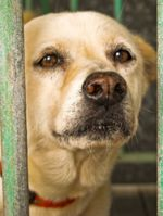 A distressed looked yellow lab peeks between the bars of a cage. Click to help feed sheltered animals