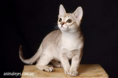 And don't forget Singapura. Smallest of the cat breeds.  I love it because it's miniature!