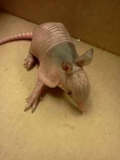"""Baby armadillos have soft shells, like human fingernails. They get harder as the animal grows, depositing bone under the skin to make a solid shell. The process of laying down bone is known as """"ossification""""."""