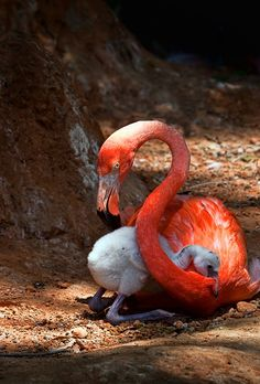 Mother Flamingo protection