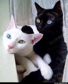 Un chat noir et un chat blanc avec un oeil bleu et un oeil vert chacun ! - A Black and a White Cat With One Blue and One Green Eye