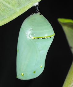 The Monarch butterfly chrysalis is a perfect example of form and function. Many chrysalids of different species of butterflies reflect the habitat in which they are found. If the pupa winters over among dead brown leaves it is likely to mimic a dead leaf. If the insect pupates when foliage is green it may be green or look like any number of natural objects such as bark, lichen or a leaf