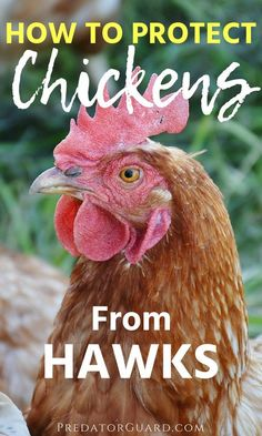 How To Protect Chickens From Hawks - Predator Guard - Predator Deterrents and Repellents Portable Chicken Coop, Best Chicken Coop, Chicken Coop Plans, Building A Chicken Coop, Chicken Coops, Funny Chicken, Raising Backyard Chickens, Keeping Chickens, Backyard Poultry
