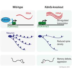 A Mouse Model of X-linked Intellectual Disability