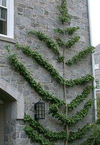 Espalier Gingko Tree