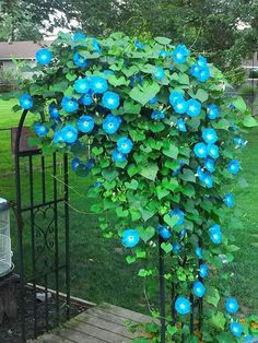 Valuable Evergreen Climbing Plants for Happy Gardeners - Exotic Flowers, Blue Flowers, Beautiful Flowers, Summer Garden, Lawn And Garden, Evergreen Climbing Plants, Climber Plants, Morning Glory Flowers, Morning Glory Vine