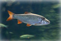 Säina maimud Beautiful Fish, Nature Images, Koi, Wildlife, Pets, Pictures, Animals, Photos, Animales