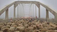 Honderden Deventer schapen op Wilhelminabrug | NOS