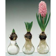 3 Pink Hyacinth Bulbs Forcing Glass Vase/Indoor Bulb Forcing in Water(Set of Indoor Water Garden, Indoor Plants, Indoor Flowers, Hydroponic Gardening, Container Gardening, Organic Gardening, Garden Crafts, Garden Projects, Tulip Bulbs
