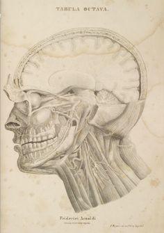 Tabula Octava. Arnold, Friedrich. Friderici Arnoldi Icones Nervorum Capitis — Heidelberg, 1860 (https://www.pinterest.com/pin/287386019949161232/).