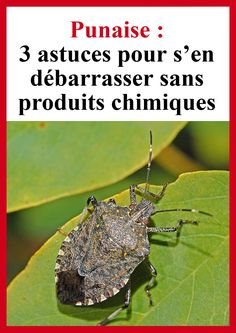 Punaise : 3 astuces pour s'en débarrasser sans produits chimiques - Expolore the best and the special ideas about Martinis