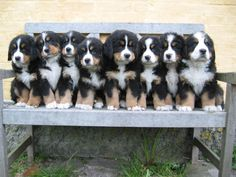 Bernese mountain dog puppies.