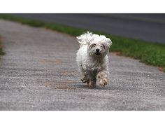 FOUND DOG - Maltese Last Seen: 7/21/2015   Location: WORCESTER, MASSACHUSETTS  N 1 1 miles1 km © 2015 HERE©2015 MicrosoftCorporation    Additional Information  Breed:Maltese Gender: Coloring:white Microchip:N/A Ref #:27733 Comments:Dog is now at Tufts School of Veterinary Medicine which is very close to where dog was caught