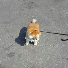 """absolutedoge: """" very puppy much nie """" Animals And Pets, Baby Animals, Funny Animals, Cute Animals, Shiba Inu, Cute Puppies, Cute Dogs, Dogs And Puppies, Akita"""