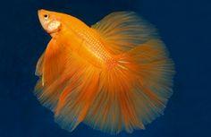 Orange Male Betta
