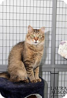 Pictures of Lovey NK a Maine Coon for adoption in Rockaway, NJ who needs a loving home.