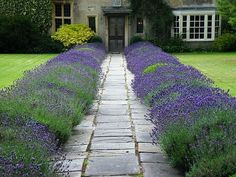Lavender and topiary front garden Front Garden Path, Front Yard Patio, Front Path, Front Yard Decor, Front Yard Landscaping, Garden Paths, Landscaping Borders, Front Yards, Landscaping Ideas