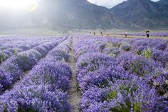 http://aromanotes.com/youngliving-farms  Young Living Lavender Fields. How many Network Marketing companies do you know of that are growing and distilling products on their own farms?     NOT MANY!     Young  Living has farms in Idaho & Utah U.S., France and Ecuador. Not to mention a distillery in Oman.
