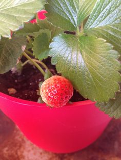 Almost ripened strawberry