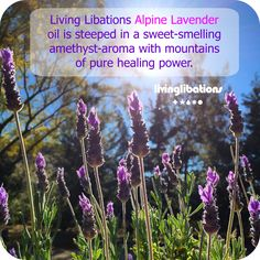 Living Libations Alpine Lavender - Mountains of Pure Healing Power