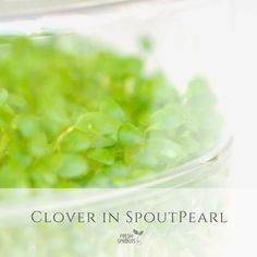 Organic clover sprouts in SproutPearl sprouter by FRESH SPROUTS