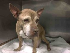 Melanie **SENIOR, HUGE MAMMARY TUMOR** - Super Urgent Manhattan - MELANIE - #A1097300 - FEMALE TAN/WHITE PIT BULL MIX, 14 Yrs - STRAY - NO HOLD Reason STRAY - Intake 11/19/16 DueOut 11/22/16 - LARGE MAMMARY TUMOR, VOLLEY BALL SIZE - QUIET, ALLOWS ALL HANDLING, SHUT DOWN & UNINTERESTED