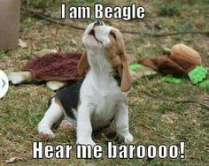 That's exactly what my darlin girl sounds like! :) ----- Also, click on the image to check out our exclusive Beagles t-shirt today! All sizes available in different colors. It's only $16.94