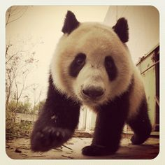 Close-up and personal with a young Giant Panda. Xi'an, China