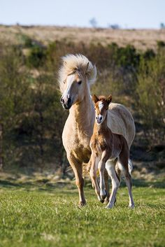 }{     Foal and his mother