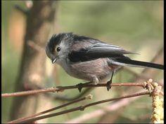 Mésange à longue queue - Long-tailed Tit - Schwanzmeise ( Aegithalos cau...