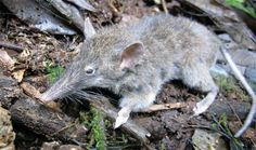 Toothless Rat from Sulawesi Stuns Biologists