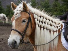continental braid... on a haflinger of course! I wish Micha's mane would grow outlike this! it's better this year but still pretty short!