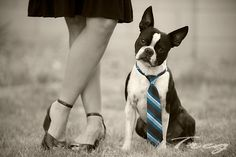 The American Gentleman - Boston Terrier looking very cool in his tie