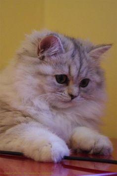 Irina de la Querencia, chaton femelle British Longhair de bientôt 6 mois. Crédit photo : Bernadette Capparos