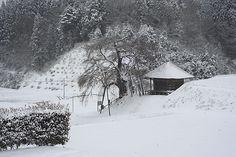 雪桜_上石の不動桜