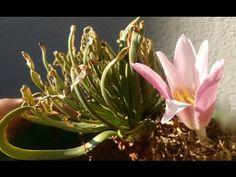 Gethyllis grandiflora namaquensis flower comparison Bulb Flowers, Seasons, World, Youtube, Plant, Seasons Of The Year, The World, Youtubers, Youtube Movies