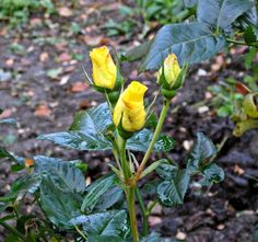Yellow rosebuds in Goltho Gardens. Late bloomers as it is November.