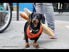 Crusoe Celebrity Dachshund in Paris, France - YouTube