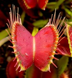 The snap traps of Dionaea muscipula close rapidly when triggered to trap prey between two lobes.