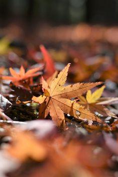 Couleurs d'automne à Sogi no taki par Nippon100.  #japan #japon #autumn #fall #leaf #kagoshima #kyushu