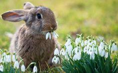 rabbit eating snowdrop flowers